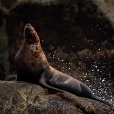 JamesThompsonPhotography_sealion_pose